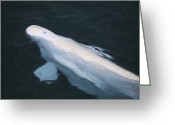 Delphinapterus Leucas Greeting Cards - Beluga Whale Bull Greeting Card by Doug Allan