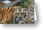 Intent Greeting Cards - Bengal Eye to Eye Greeting Card by Douglas Barnett