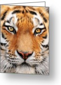 Big Cat Art Prints Greeting Cards - Bengal Tiger Greeting Card by Bill Fleming