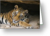Threatened Species Greeting Cards - Bengal Tiger Cub Resting In Cave Greeting Card by Theo Allofs