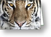 Animal Portrait Greeting Cards - Bengal Tiger Eyes Greeting Card by Tom Mc Nemar