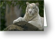 Threatened Species Greeting Cards - Bengal Tiger Panthera Tigris Tigris Greeting Card by Cyril Ruoso
