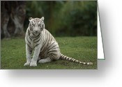 Morph Greeting Cards - Bengal Tiger Panthera Tigris Tigris Greeting Card by Konrad Wothe