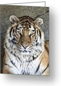 Feline Greeting Cards - Bengal Tiger Vertical Portrait Greeting Card by Tom Mc Nemar