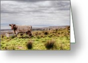 County Clare Greeting Cards - Besty My Irish Cow Greeting Card by Natasha Bishop