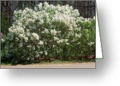 Cultivars Greeting Cards - Betsy Ross Lilac Greeting Card by Science Source