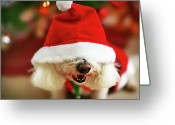 Animal Head Greeting Cards - Bichon Frise Dog In Santa Hat At Christmas Greeting Card by Nicole Kucera
