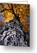 Reaching Greeting Cards - Big autumn tree in fall park Greeting Card by Elena Elisseeva