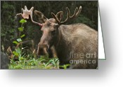 Moose Bull Greeting Cards - Big Guy Greeting Card by Rick  Monyahan