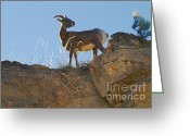 Horns Greeting Cards - Big Horn Sheep Greeting Card by David  Naman