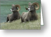 Canadian Rockies Greeting Cards - Big Horn Sheep Duo Greeting Card by Bob Christopher