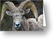 Bighorn Greeting Cards - Big Horn Sheep Ram Greeting Card by Rob Daugherty - RobsWildlife.com