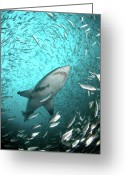 Swimming Photo Greeting Cards - Big Raggie Swims Through Baitfish Shoal Greeting Card by Jean Tresfon