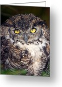 Contact Greeting Cards - Big Yellow Eyes Of The Screech Owl Greeting Card by Ralph Lee Hopkins