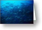 Marine Animal Greeting Cards - Bigeye Jack School Swimming Greeting Card by James Forte