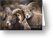 Game Animals Photo Greeting Cards - Bighorn Brothers Greeting Card by Kevin Munro