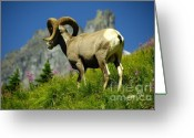 Canadian Rockies Greeting Cards - Bighorn Sheep Greeting Card by Marc Bittan