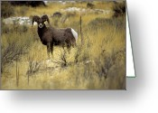Side View Greeting Cards - Bighorn Sheep (ovis Canadensis) Greeting Card by Altrendo Nature