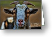 Horns Greeting Cards - Billy Goat Greeting Card by Paul Ward