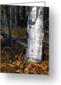 Forest Floor Photo Greeting Cards - Birch Autumn 3 Greeting Card by Ron Day