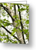 Flora Greeting Cards - Birch tree in spring Greeting Card by Elena Elisseeva