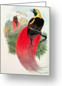 1823 Greeting Cards - Bird of Paradise Greeting Card by John Gould