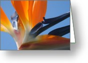 Fine Art Flower Photography Greeting Cards - Bird of Paradise Greeting Card by Sharon Mau
