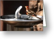 House Finch Greeting Cards - Bird Spa Greeting Card by Christine Till