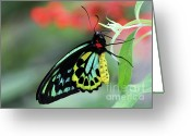 Gossamer Greeting Cards - Birdwing Butterfly Greeting Card by Sabrina L Ryan