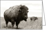 Bison Greeting Cards - Bison and Calf Greeting Card by Olivier Le Queinec