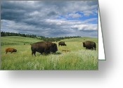 Midwestern States Greeting Cards - Bison And Their Calves Graze In Custer Greeting Card by Annie Griffiths