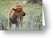 Bison Greeting Cards - Bison Calf Greeting Card by Photo By Daryl L. Hunter - The Hole Picture