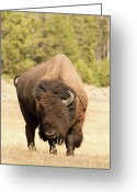 Male Photo Greeting Cards - Bison Greeting Card by Corinna Stoeffl, Stoeffl Photography