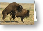 Graze Photo Greeting Cards - Bison Graze On The Wiedderick Ranch Greeting Card by Joel Sartore