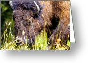 Bison Range Greeting Cards - Bison grazing in the afternoon Greeting Card by Merle Ann Loman