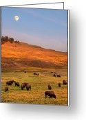 Livestock Greeting Cards - Bison Grazing On Hill At Hayden Valley Greeting Card by Sankar Raman