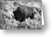 Horns Greeting Cards - Bison in Black and White Greeting Card by Sebastian Musial