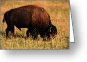 Grand Tetons National Park Greeting Cards - Bison In Evening Light Greeting Card by Aidan Moran
