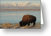 Grass Greeting Cards - Bison In Front Of Snowy Mountains Greeting Card by Mathew Levine
