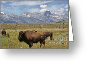 Grand Tetons National Park Greeting Cards - Bison in Grand Tetons Greeting Card by Teresa Zieba