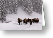 Bison Greeting Cards - Bison In Winter Greeting Card by DBushue Photography