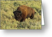 Watching Greeting Cards - Bison Greeting Card by Sebastian Musial