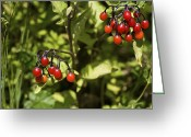 Bittersweet Photo Greeting Cards - Bittersweet Berries (solanum Dulcamara) Greeting Card by Dr Keith Wheeler
