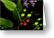Bittersweet Digital Art Greeting Cards - Bittersweet Nightshade Greeting Card by Tamara Stoneburner