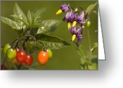 Bittersweet Photo Greeting Cards - Bittersweet (solanum Dulcamara) Greeting Card by Bob Gibbons