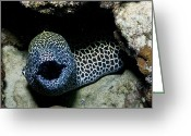 Honeycomb Greeting Cards - Black And White Honeycomb Moray Eel Greeting Card by Mathieu Meur