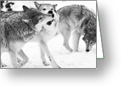 Beast Greeting Cards - Black and White of three wolves at play Greeting Card by Melody and Michael Watson