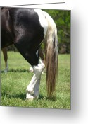 Gaited  Horse Greeting Cards - Black and White Paint at Rest Greeting Card by Lynda Dawson-Youngclaus