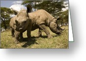 Image Type Photo Greeting Cards - Black And White Rhinoceros Calves Greeting Card by Michael Poliza