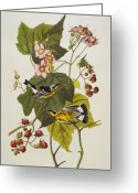 Yellow Drawings Greeting Cards - Black And Yellow Warbler Greeting Card by John James Audubon